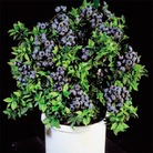 Blueberry Bush Goldtraube x3