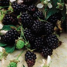 Blackberry Thornless Evergreen x2