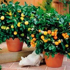 Lemon and Orange Citrus Tree Combo