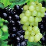 Grape Boskoop Glory Blue