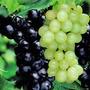 Grape Combo Boskoop Glory Blue/White