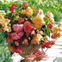 Begonia Parisienne Trailing Mix