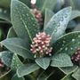 Skimmia 'Olympic Flame' (skimmia (female))