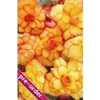 Trailing Begonia Illumination Apricot x 24 large plug plants