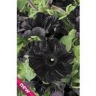 Petunia Black Velvet x 5 young plants