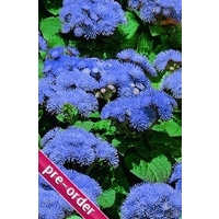 Ageratum Champion Blue x 24 large plug plants