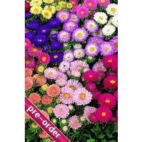Aster Cottage Garden Mix x 24 large plug plants