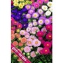 Aster Cottage Garden Mix x 24 large plug plants