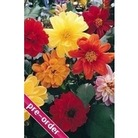 Dahlia Diablo Mixed x 24 large plug plants