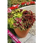 Coleus Wizard Mixed x 24 large plug plants