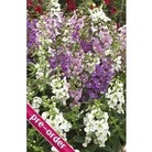 Angelonia Serena Mixed x 24 large plug plants