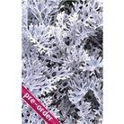 Cineraria Silver Dust x 24 large plug plants