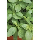 Basil Sweet Genovese x 650 seeds