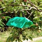 Plum Moth Trap