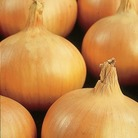 Onion Sturon Plants