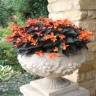 Begonia Glowing Embers* - BUY 2 GET 1 FREE