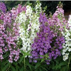 Angelonia Serena Mixed* (24 Large Plants)