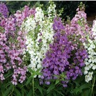 Angelonia Serena Mixed* (24 Large Plants)