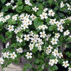 Bacopa Snowtopia* (24 Large Plants)