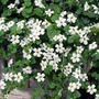 Bacopa Snowtopia* (24 Large Plants)