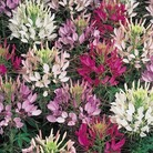 Cleome Odyssee* (24 Large Plants)