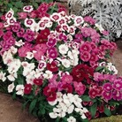 Sweet William Festival Mixed* (60 Med Plants)