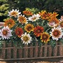 Gazania Tiger Stripe Mixed* (60 Medium Plants)