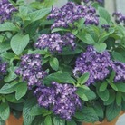 Heliotrope Marine* (24 Large Plants)