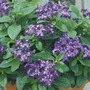 Heliotrope Marine* (24 Large Plants)