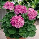 Geranium Duo Pack* (48 Large Plants)