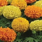 Marigold Taishan Mixed-African* (60 Medium Plants)