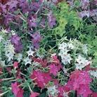 Nicotiana Malibu Mix* (60 Medium Plants)