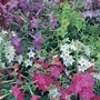 Nicotiana Malibu Mix* (60 Medium Plants)