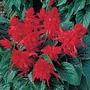 Salvia Scarlett* (60 Medium Plants)