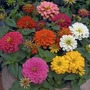 Double Zinnia Magellan Mixed* (24 Lrg Plants)