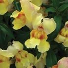 Antirrhinum Anthirodora Yellow* (5 Young Plants)