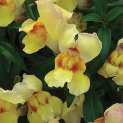 Antirrhinum Anthirodora Yellow* BUY 2 GET 1 FREE!