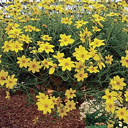 Bidens Gold Star* (5 Young Plants)