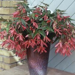 Begonia Million Kisses Romance* (5 Young Plants)