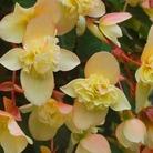 Begonia Sherbet Bon Bon* (5 Young Plants)