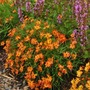 Coreopsis Mango Punch* BUY 2 GET 1 FREE