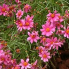 Coreopsis Pink Lady* (3 Young Plants)