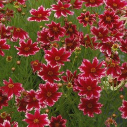Coreopsis Ruby Frost* (3 Young Plants)