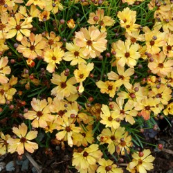 Coreopsis Collection* (9 Young Plants)