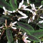 Euphorbia Breathless Blush* BUY 2 GET 1 FREE