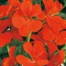 Geranium Gerainbow Orange* (5 Young Plants)