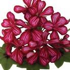 Geranium Gerainbow Purple Bi-Colour* (5 Young Plants)