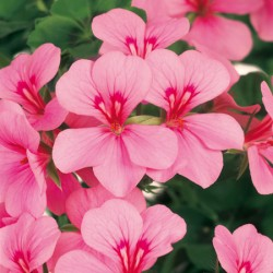 Geranium Gerainbow Pink* (5 Young Plants)