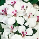 Geranium Gerainbow White* (5 Young Plants)