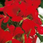 Geranium Gerainbow Red* (5 Young Plants)